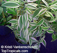 Vanilla planifolia - Variegated Vanilla BeanClick to see full-size image
