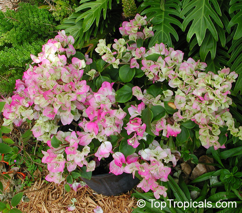 Bougainvillea Double Imperial Delight Pinky White