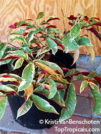 Excoecaria cochinchinensis, Excoecaria bicolor, Strawberry Cream, Jungle Fire, Chinese croton, Variegated Leaf  Click to see full-size image