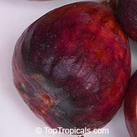 Ficus carica - LSU Purple Fig   Click to see full-size image