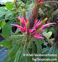 Aphelandra scabra, Aphelandra  Click to see full-size image