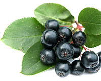 Aronia melanocarpa - Chokeberry Viking Click to see full-size image