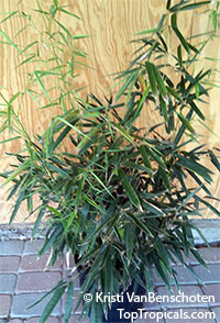 Phyllostachys nigra, Black Bamboo  Click to see full-size image
