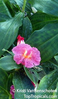 Costus fissiligulatus - African Princess, Cameroon Costus