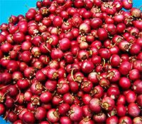 Vaccinium macrocarpon - Cranberry StevensClick to see full-size image