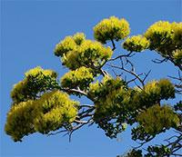 Delonix floribunda (adansonioides) - Baobab PoincianaClick to see full-size image