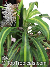 Dracaena fragrans Massangeana  Click to see full-size image