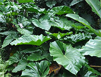 Philodendron giganteum - Giant Philidendron  Click to see full-size image