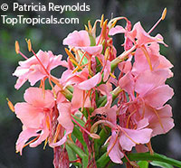 Hedychium 'Elizabeth', Elizabeth Ginger Lily