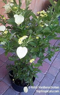 Pseudomussaenda flava, Mussaenda lutea, Mussaenda luteola, Mussaenda glabra, Mussaenda incana, Dwarf Yellow MussaendaClick to see full-size image