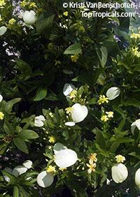 Pseudomussaenda flava, Mussaenda lutea, Mussaenda luteola, Mussaenda glabra, Mussaenda incana, Dwarf Yellow Mussaenda  Click to see full-size image