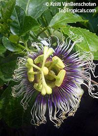 Passiflora edulis, Passion Fruit, Parcha, Maracuya, GranadillaClick to see full-size image