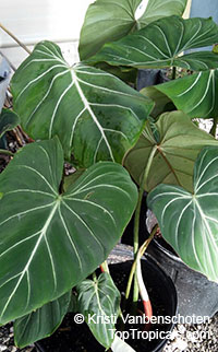 Philodendron gloriosum - Glorious Jungle Philodendron   Click to see full-size image