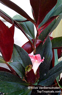 Costus erythrophyllus Rubra - Ox Blood Costus, Red Wine Costus  Click to see full-size image