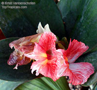 Costus erythrophyllus, Ox Blood Costus, Red Wine Costus  Click to see full-size image