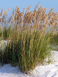 Uniola paniculata, Sea Oats, Seaside Oats, Arana, Arroz de Costa  Click to see full-size image
