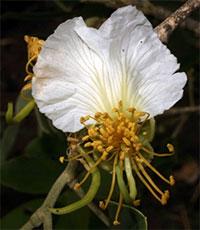 Swartzia (Bobgunnia ) madagascariensis - seeds  Click to see full-size image
