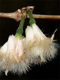 Tricalysia junodii (Empogona kirkii) - seeds  Click to see full-size image
