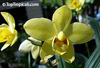Spathoglottis Lemon Kiss - Ground Orchid  Click to see full-size image