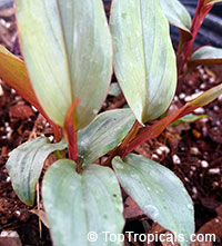 Alpinia luteocarpa, Red Bamboo Ginger  Click to see full-size image