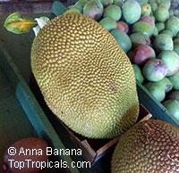 Artocarpus heterophyllus - Jackfruit R55-22, graftedClick to see full-size image