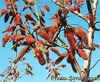Acrocarpus fraxinifolius - Pink CedarClick to see full-size image