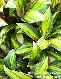 Cordyline fruticosa Kiwi - Hawaiian Ti LeafClick to see full-size image