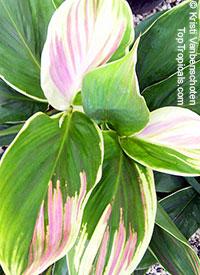 Cordyline fruticosa Exotica - Hawaiian Ti LeafClick to see full-size image
