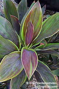 Cordyline fruticosa Cameroon - Hawaiian Ti LeafClick to see full-size image