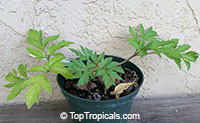 Angelica keiskei, Ashitaba, Tomorrows Leaf, Koidzumi  Click to see full-size image