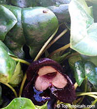 Asarum maximum, Green Panda, Pussy Plant, Ling Ling, Panda Face Ginger  Click to see full-size image