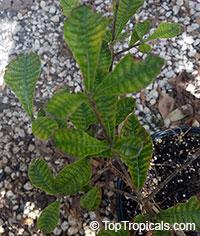 Gardenia resiniflua, Gummy gardeniaClick to see full-size image