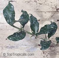 Hyperacanthus amoenus, Gardenia amoena, Thorny gardenia, Murombe, BembethuClick to see full-size image