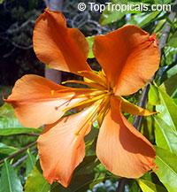Erblichia odorata - Flor de Fuego, 1 gal pot  Click to see full-size image