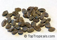 Oxyanthus sp., Whipstick Tree, Wild Coffee, Zulu Loquat, Sand-forest Afro-loquat  Click to see full-size image