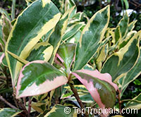 Ardisia polycephala (elliptica) variegated - Shoebutton Ardisia
