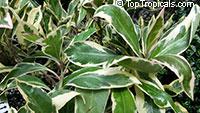Ardisia elliptica, Ardisia polycephala, Shoebutton ArdisiaClick to see full-size image