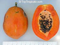 Carica papaya Wan Deng - Thai Dwarf Super Sweet Red - with express shipping