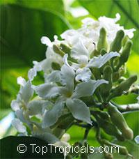 Gonioma kamassi, Igala-gala - seeds  Click to see full-size image