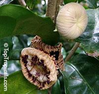 Napoleonaea imperialis, Napoleons Hat  Click to see full-size image