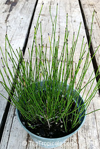 Equisetum hyemale, Horsetail, Scouring Rush  Click to see full-size image