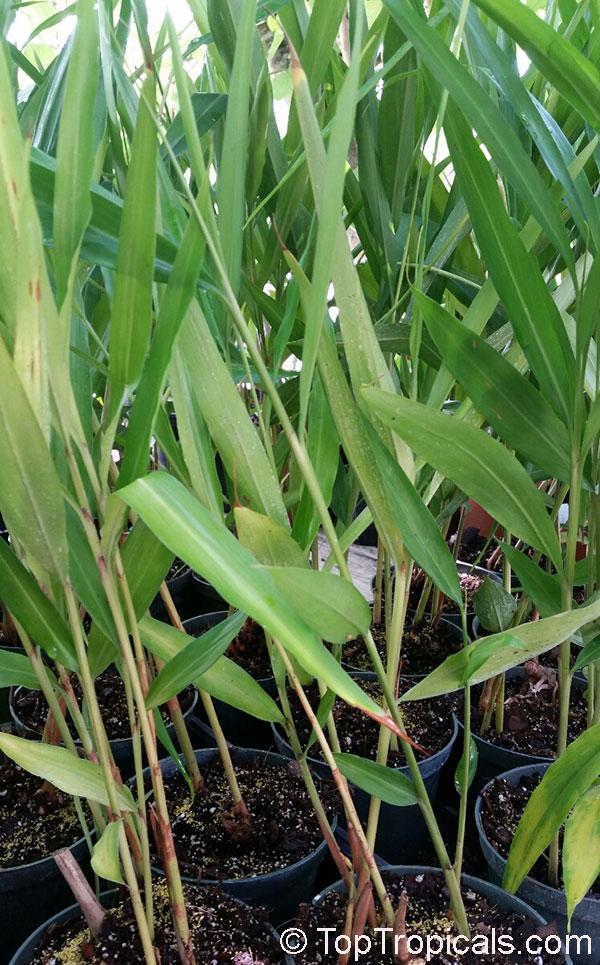 TopTropicalscom rare plants for home and garden