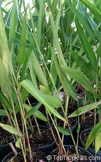 Alpinia galanga, Languas galanga, Galanga Root, Galangal, Thai Ginger, Laos   Click to see full-size image