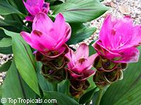 Curcuma alismatifolia, Siam Tulip  Click to see full-size image