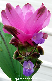 Curcuma alismatifolia Siam Scarlet - Purple Siam TulipClick to see full-size image