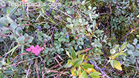 Vaccinium corymbosum, Tropical Blueberry, Lowbush Blueberry