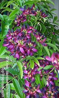 Millettia reticulata, Evergreen Wisteria, Summer Wisteria  Click to see full-size image
