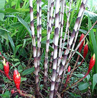 Alpinia luteocarpa - Red Bamboo Ginger