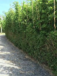 Bambusa boniopsis - Bonnie Bamboo  Click to see full-size image