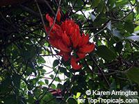 Mucuna benettii, Mucuna bennettii, Mucuna warburgii, Mucuna albertisii, Mucuna novoguineensis, Red Jade Vine, New Guinea CreeperClick to see full-size image